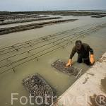El Sr. Jacques Baron trabajando con sacos llenos de ostras (Ostrea edulis). Frente a las costas de la isla de Oleron. Francia (MR.072)