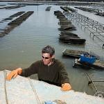 El Sr. Jacques Baron trabajando con sacos llenos de ostras (Ostrea edulis) bajandolos de su ligera embarcacion. Frente a las costas de la isla de Oleron. Francia (MR.072)