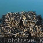 Cestas repletas de ostras dispuestas sobre una embarcacion. Canal de ORS. Isla de Oleron. Francia