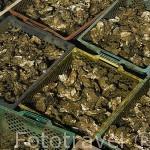 Cajones de plastico repletos de ostras dispuestos bajo el agua para ser limpiados posteriormente. En BOURCEFRANC LE CHAPUS. Francia