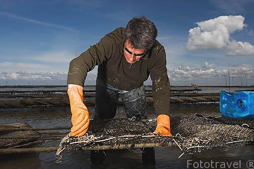 El Sr. Jacques Baron enganchando los sacos llenos de ostras (Ostrea edulis) a las armaduras de hierro que hay sujetas al fondo. Frente a las costas de la isla de Oleron. Francia (MR.072)