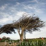 Arboles vencidos por el fuerte viento. Norte de la isla Oleron. Francia