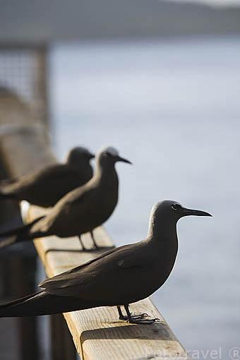 Anous stolidus; Brown Noddy. Ave marina comun en la Polinesia Francesa. Isla de BORA BORA. Tambien en isla del Coco. Oceano Pacifico