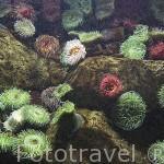 Anemonas coloridas. Oceanario de la ciudad de LISBOA. Portugal