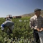 Agricultores recolectando algodon cerca de PRIENE. Costa del mar Egeo. Turquia