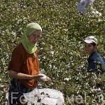 Agricultores recolectando algodon cerca de MILETO. Costa del mar Egeo. Turquia