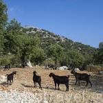 Cabras en la zona montañosa cercana a MYRA. Provincia de Antalya. Turquia