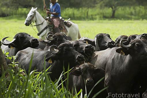 Criando bufalos africanos. En Territorio Paraiso. Valle del Cauca. Colombia