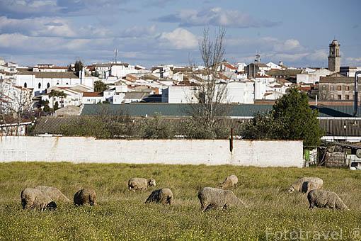Ovejas pastando junto a la poblacion de VILLANUEVA DE CORDOBA. Gentilicio: Jarotes. Comarca de Los Pedroches. Cordoba. España
