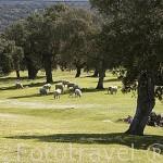 """Encinas """"Quercus rotundifolia"""". Comarca de Los Pedroches. Cordoba. España"""