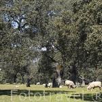 """Encinas """"Quercus rotundifolia"""" y ovejas en una finca. Comarca de Los Pedroches. Cordoba. España"""