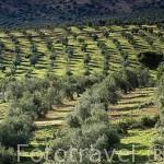 """Campos de olivos y encinas """"Quercus rotundifolia"""". Cerca del puerto de Calatraveño. Comarca de Los Pedroches. Cordoba. España"""
