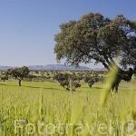 Campo de cereal y encinas. Comarca de Los Pedroches. Cordoba. España