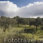 Paisaje de olivos y ovejas. Comarca de Los Pedroches. Cordoba
