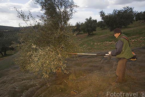 Agricultor vareando con una maquina uno de sus olivos cerca del puerto de Calatraveño. Comarca de Los Pedroches. Cordoba