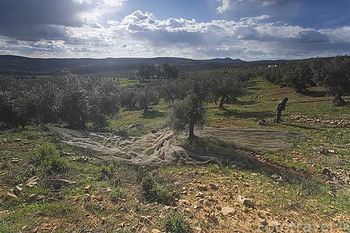 Paisaje de olivos cerca del puerto de Calatraveño. Comarca de Los Pedroches. Cordoba
