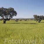 """Encina """"Quercus rotundifolia"""" en un campo de cereal. Comarca de Los Pedroches. Cordoba. España"""