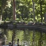 Cisnes en el Lago. Jardin historico artistico (s. XVIII) El Capricho. Madrid capital. España
