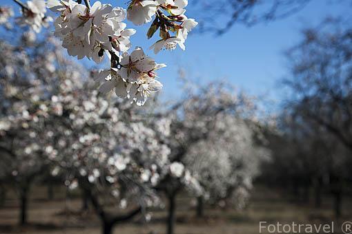 """Almendros """"Prunus dulcis"""" en flor. Parque Quinta de los Molinos. Distrito de San Blas. Ciudad de Madrid. España"""