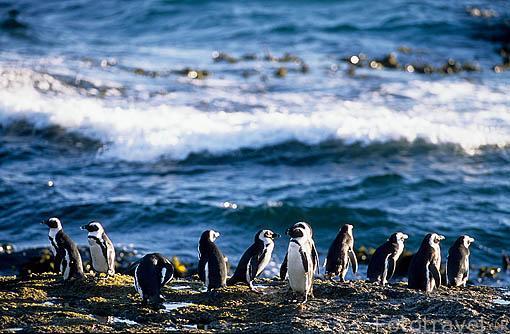 """Pingüinos africanos """"Spheniscus demersus"""". Endemico de SURAFRICA. Anida en colonias cercanas a la costa. Playa de Boulders, CIUDAD EL CABO. Africa"""
