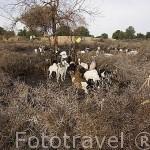 Rebaño de cabras en una cerca construida con ramas espinosas de acacias.Pueblo de SALDE. En la orilla de Mauritania. Rio Senegal. Senegal