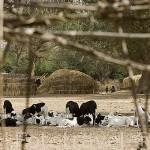 Rebaño de cabras y chozas de paja. Poblado nomada de GOUMEL PEUL. Rio Senegal. Norte de Senegal