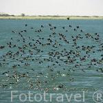 Patos silbadores cariblanca en grandes bandadas sobrevuelan el rio Senegal. Norte de SENEGAL