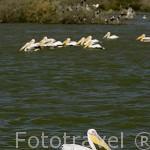"""Pelicanos blancos """"Pelecanus onocrotalus"""". Parque nacional DJOUDJ. Tercero mas grande del mundo en cantidad de aves. Rio Senegal. Norte de Senegal"""