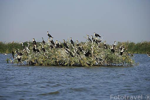 """Cormoranes """"Phalacrocorax lucidus"""" agrupados en el parque nacional DJOUDJ, (El tercero mas grande del mundo). Norte de SENEGAL"""