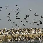 """Patos cariblanca """"Dendrocygna"""" y pelicanos blancos """"Pelecanus onocrotalus"""".Parque nacional DJOUDJ, (El tercero mas grande del mundo). Norte de SENEGAL"""