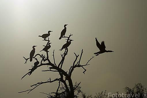"""Cormoranes """"Phalacrocorax lucidus"""" descansando en un arbol. Parque nacional DJOUDJ, (El tercero mas grande del mundo). Norte de SENEGAL"""