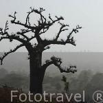 Baobabs a lo largo del camino entre Dakar y SAINT LOUIS. Norte de Senegal