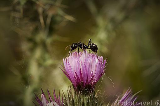 Una hormiga sobre la flor de un cardo. Madrid. España