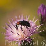 Escarabajo. Heliotaurus ruficollis