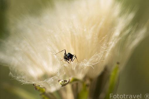 Una hormiga dentro de una flor. Ajalvir. España