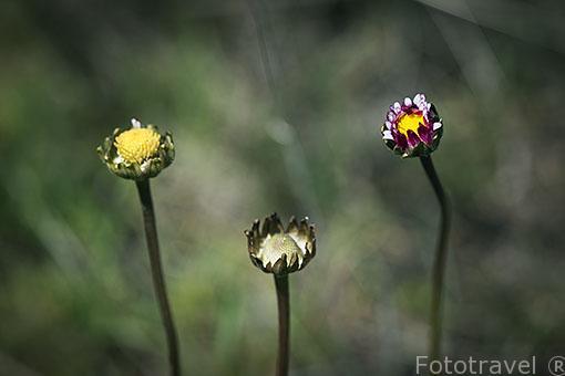 Tres flores en el campo. Ajalvir. Madrid. España