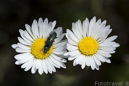 Coleoptero Psilothrix viridicaeruleus