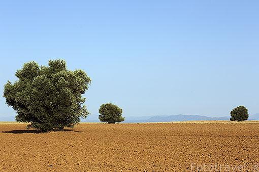 Olivos salvajes en Ajalvir. Comunidad de Madrid. España