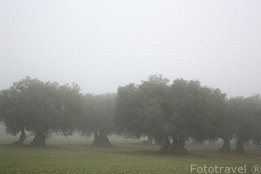 Olivos en el campo. Ajalvir. Madrid. España
